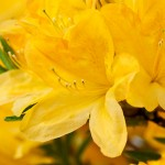 The Azalea is part of the rhododendron family and its beautiful flowers cover a shrub.