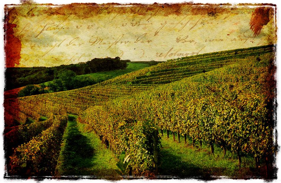 French Vineyard - Forgotten Postcard