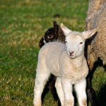 Baby Lambs stick close to Mom