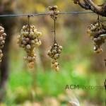 Petit Manseng Grapes