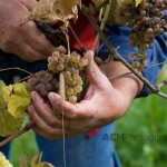 Harvesting Grapes for Wine