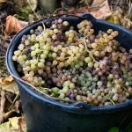 Pail of Grapes