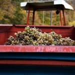 Grapes and Tractor