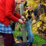 Harvesting Grapes for Wine