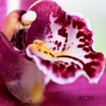 "Phalaenopsis ""Paloma"""