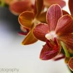 """Phalaenopsis """"Thunja"""""""