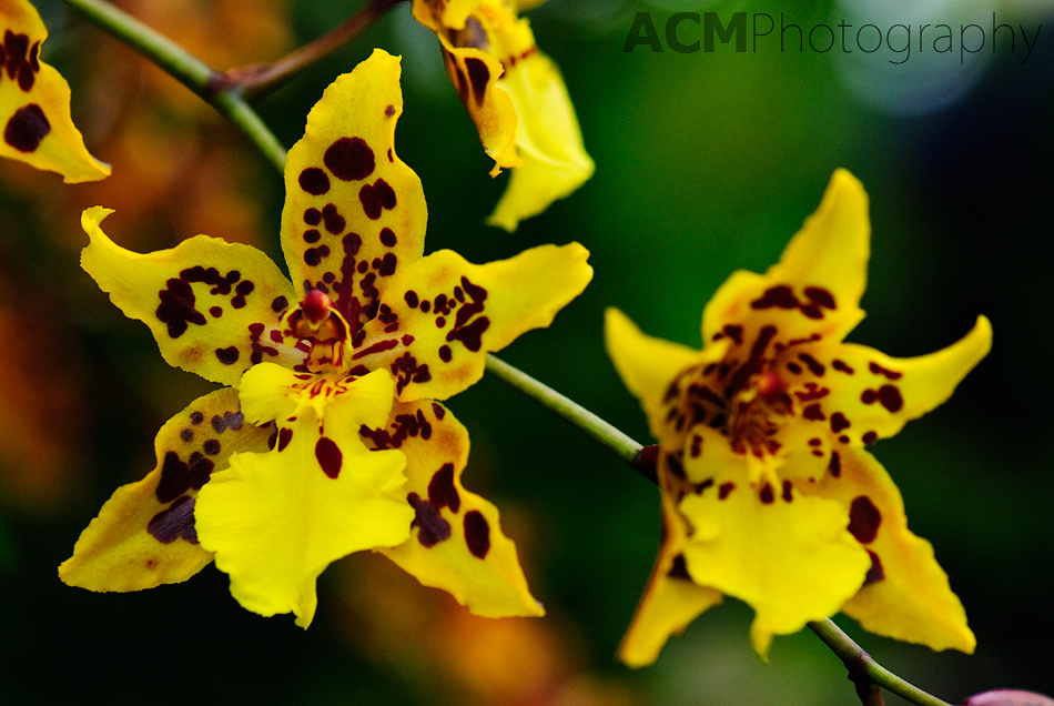 Orchid photo gallery acm photography yellow orchid mightylinksfo