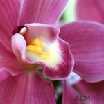 "Cymbidium ""Cindyflor"" Orchid"