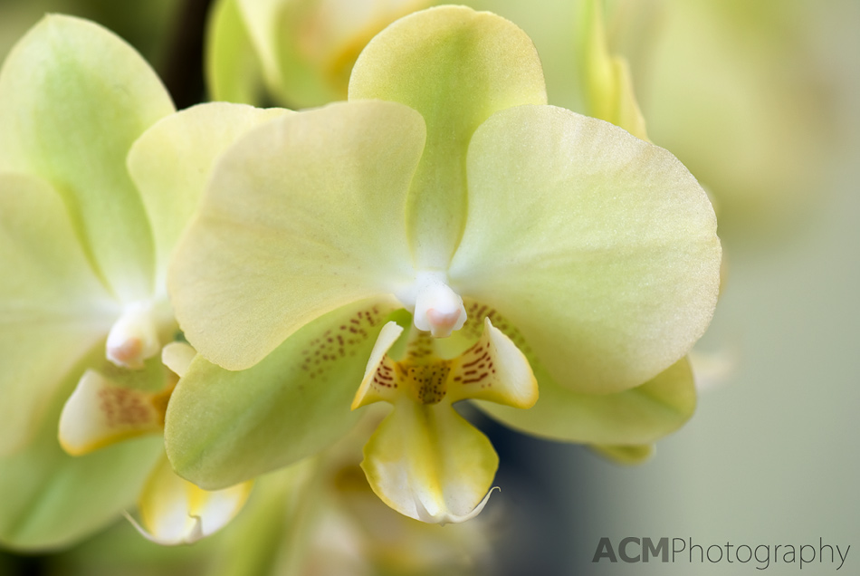 orchid photo gallery acm photography