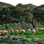 Sheep and Cork Trees