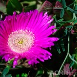Carpobrotus acinaciformis commonly called Sally-my-handsome