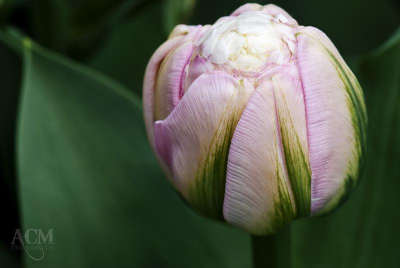 Ice Cream Tulip