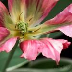 Viridiflora Tulip 'Esperanto'