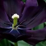 Black Charm - Triumph Tulip