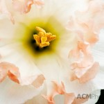 Narcissus 'Pink Wonder'
