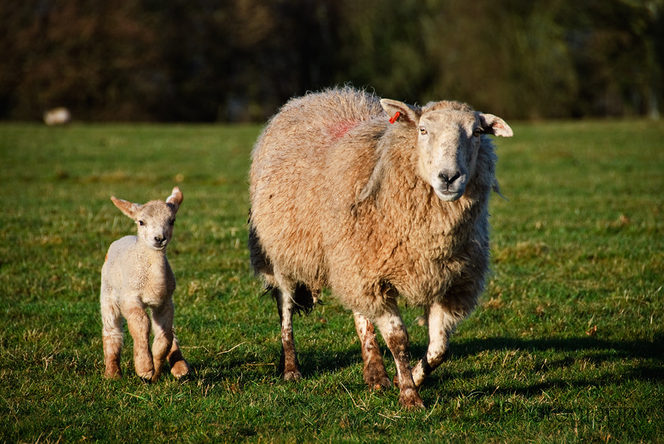 Photographing Spring Lambs - ACM Photography