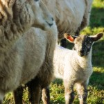 Baby Lamb with Mother Sheep