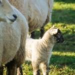 Spring Lamb and Mama Sheep