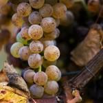 Grapes for Jurancon Wine