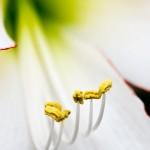 Hippeastrum 'Picotee' (Amaryllis)