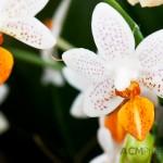 """Phalaenopsis """"Mini Mark"""""""