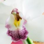"Cymbidium Orchid Pearl-Balkis ""Fiona"""