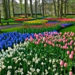 Keukenhof Tulip Gardens in Lisse, The Netherlands