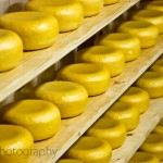 Rows of Gouda Cheese in Holland